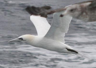 Northern gannets nest in Canada in the summer and winter in the Gulf of Mexico. The best we can do to protect this species is get the oil gusher stopped and cleaned up.